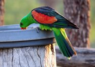 Red-winged parrot.<br/>
