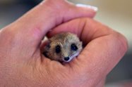 A Fat-tailed Dunnart (Sminthopsis crassicaudata) pops its head out to say hello while we process him. <br/>