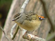 Female Spotted Pardalote. Spotted Pardalotes are more often heard singing high up in the canopy than they are seen. They're one of Australia's smallest birds. Photo: Glen Bain.<br/>