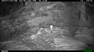 Native White-tailed Rat<br/>