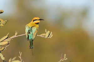 Rainbow Bee-eater.<br/>Photo: Ben Parkhurst.