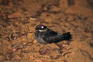 White-throated Nightjar<br/>Photo by Paul Hales