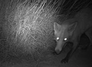 <br/>A fox is caught in the act stealing an egg from one of our 'fake' nests. Photo by Emma Spencer.
