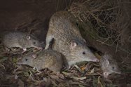 Bandicoot mother and young<br/>DSLR, 80 mm, f/16, ISO 320, 1/60s, twin flash units