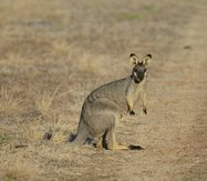 Black-gloved Wallaby<br/>