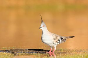 Crested Pigeon.<br/>Photo: Ben Parkhurst.