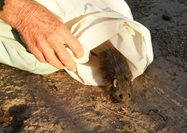 Native Bush Rats aren't often seen in the Fitz-Stirling. Photo Liz Tanner.<br/>