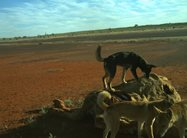 <br/>Motion sensor camera image showing a pack of dingoes feeding on a camel carcass. Photo by Emma Spencer