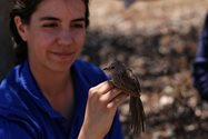 Juvenile male western grasswren, about to be processed. Photo: Richard Winterton.<br/>