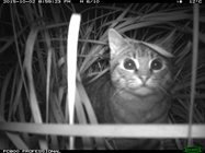 Glen has captured a number of feral cats on his camera traps, raiding bird nests. He's also seen many out during his dawn surveys. . In one year, one Midlands farmer has shot 280 cats on his property. Photo by Glen Bain.<br/>