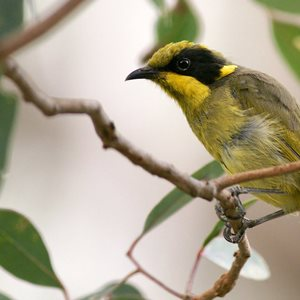 Yellow-tufted Honeyeater.<br/>