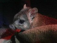 An Eastern Bettong. Photo by Kirstin Proft.<br/>