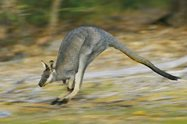 Black-gloved Wallaby<br/>DSLR, 400 mm, f/5.6, ISO 320, 1/350, etched and background blur increased at post-production in Photoshop.