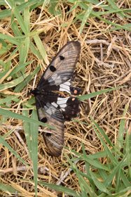 Clearwing Swallowtail (Cressida cressida)<br/>