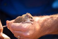 An energetic Hairy-footed Dunnart (Sminthopsis hirtipes). Photo Annette Ruzicka.<br/>