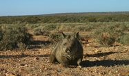 Southern hairy-nosed wombat. Photo by motion sensing camera.<br/>