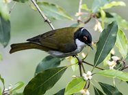 White naped honeyeater (by David Cook Wildlife-Photography).<br/>