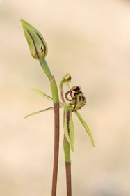The bud and a flower of the Small Dragon Orchid (Caladenia barbarella). Photo Ben Parkhurst.<br/>