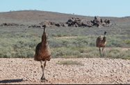 Emus calmly pacing 10 metres from the ute close enough to see the feathers on their vestigial wings! Photo David Duncan.<br/>
