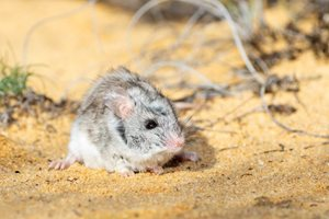 Ash-grey Mouse. Photo by Ben Parkhurst<br/>