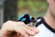Glen carefully holds a male Superb Fairy-wren - one of Glen's, and indeed Australia's, favourite birds! Photo by Glen Bain.<br/>