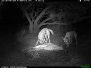 Motion-sensor camera image showing two dingoes feeding at a carcass. Photo by Emma Spencer<br/>