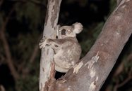 Koala<br/>One of the four koalas spotted during nocturnal surveys.