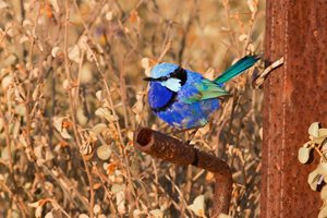 Splendid Fairy-wren. Photo Ben Parkhurst.<br/>These stunning birds can be seen all over Eurardy,