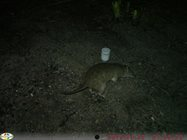 Northern Brown Bandicoot.<br/>