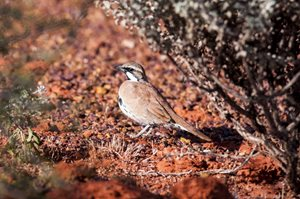 Cinnamon Quail-thrush (Photo John Donkin)<br/>