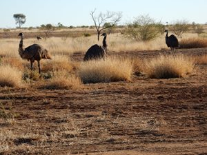 A group of emu at Edgbaston Reserve.<br/>