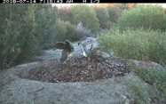 Image #1: A pair of Malleefowl working on their mound.<br/>
