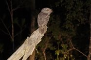 Tawny Frogmouth<br/>Photo by Paul Hales