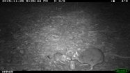 A female and joey Eastern Bettong caught on Kirstin's camera traps. Photo: Kirstin Proft. <br/>