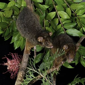 Juvenile Eastern Ringtail Possums<br/>DSLR, 80 mm, f/16, ISO 320, 1/60s twin Speedlight unit