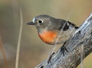Scarlet robin female (by David Cook Wildlife Photography).<br/>