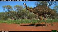 An emu wanders past.<br/>