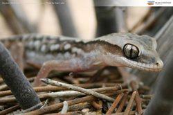 Western Stone Gecko at Charles Darwin Reserve, Western Australia