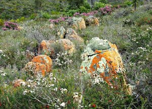 Lichen covered rocks amongst the vegetation at Monjebup Reserve. Photo Amanda Keesing.