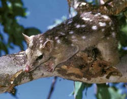 Northern quoll. Copyright Frank Woerle / AUSCAPE. All rights reserved.