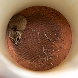 Dunnart in a Pitfall trap