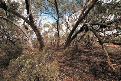 York Gum Woodlands on Charles Darwin Reserve. Photo Jiri Lochman/Lochman Transparencies.
