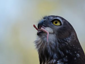 A Barking Owl devouring a mouse. Photo James Niland.*