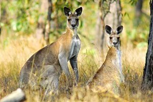 Eastern Grey Kangaroos at Yourka Reserve, Qld. Photo Wayne Lawler/EcoPix.