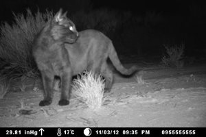 A feral cat captured on remote camera at Charles Darwin Reserve, WA.