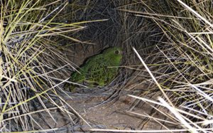 Night Parrot amongst spinifex. Photo Dr Steve Murphy.