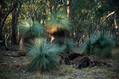 Grass trees at J.C. Griffin Reserve. Photo Matthew Newton.