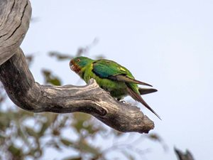 An endangered Swift Parrot at Tarcutta. Photo Richard Taylor.