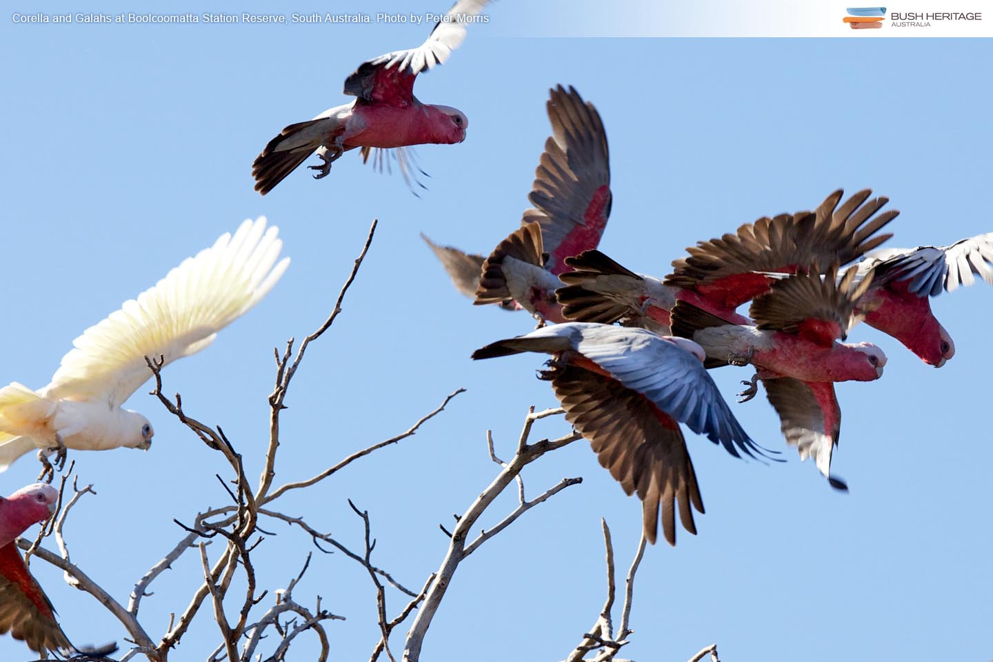 Corella and galahs at Naree Station Reserve, New South Wales