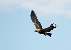 A Wedge-tailed Eagle. Photo Patrick Kavanagh/Wikimedia Commons.